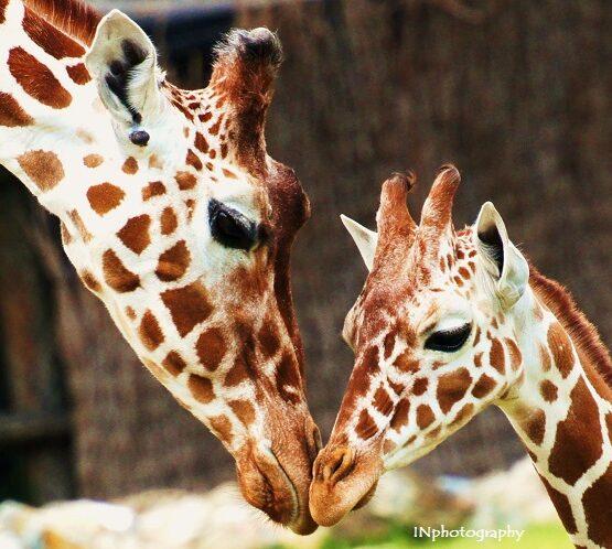 Giraffe-caring-Ingmar-Noorlander