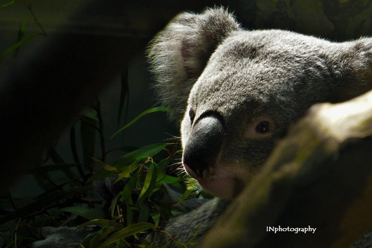 Koala climate change INphotography